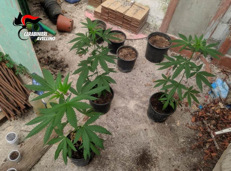 Photo of Coltivazione di marijuana sequestrata a Paternopoli